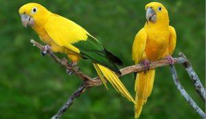 biomas brasileiros - Ararajuba da Floresta Amazônica