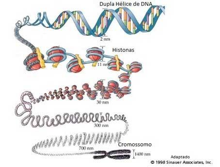 Mitose e meiose - espiralização dos cromossomos