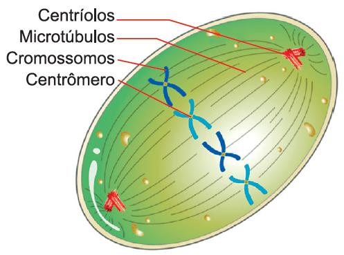 Mitose e meiose - exercício