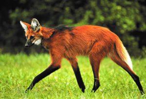 Lobo-guará - fauna do cerrado