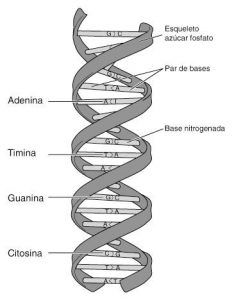 DNA e RNA - Modelo de molécula de DNA