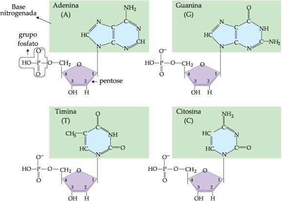 DNA e RNA - moléculas dos quatro nucleotídeos
