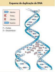 DNA e RNA - Representação da duplicação de DNA