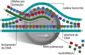 biomas brasileiros - transcrição do DNA