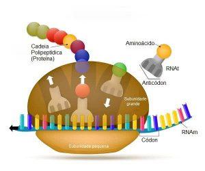 DNA e RNA - transcrição do RNA