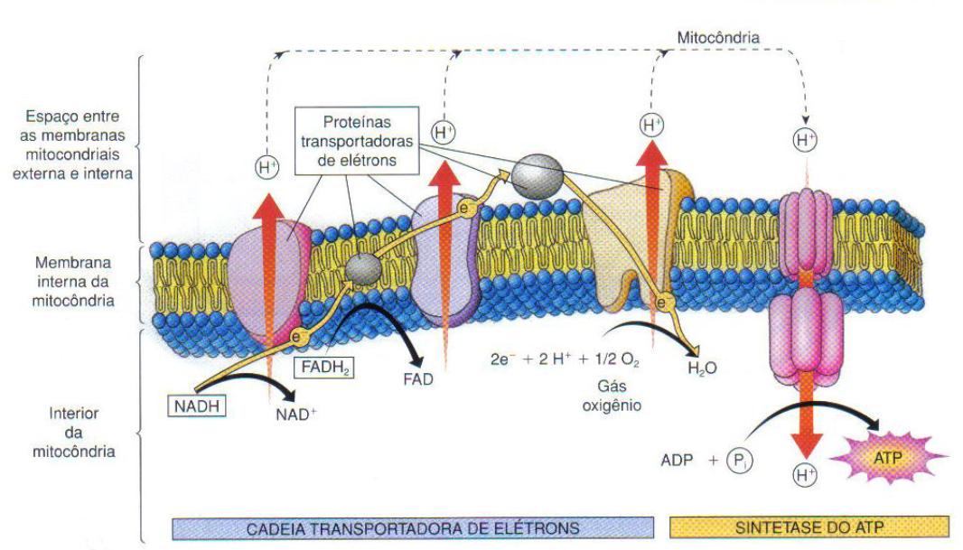 Respiração celular - cadeira respiratória