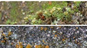Briófitas e líquens sucessão ecológica