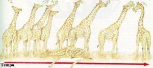 teorias da evolução darwinismo girafas