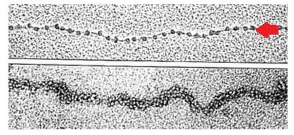 cromatina genetica