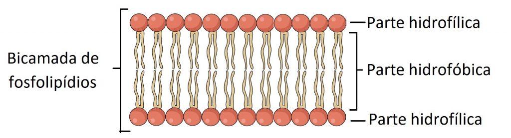 representação simplificada da bicamada de fosfolipídios
