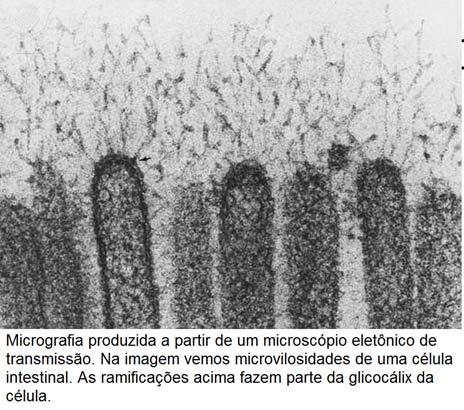 glicocalix membrana plasmatica