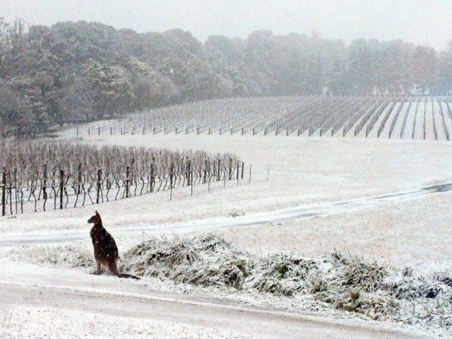 canguru na austrália