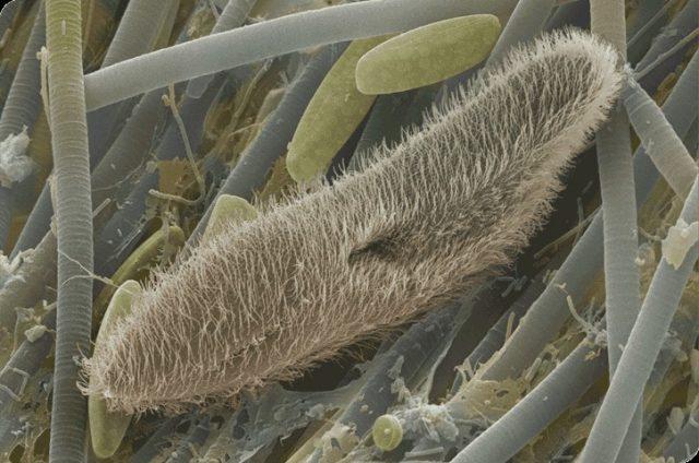 cilios e organelas celulares
