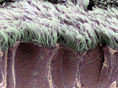 cilios organelas celulares