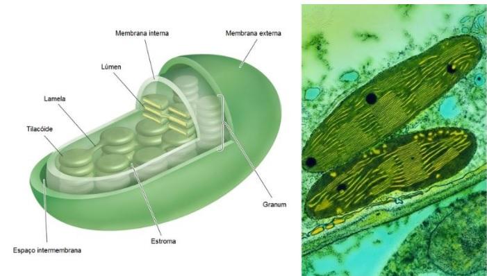 cloroplasto e fotossíntese