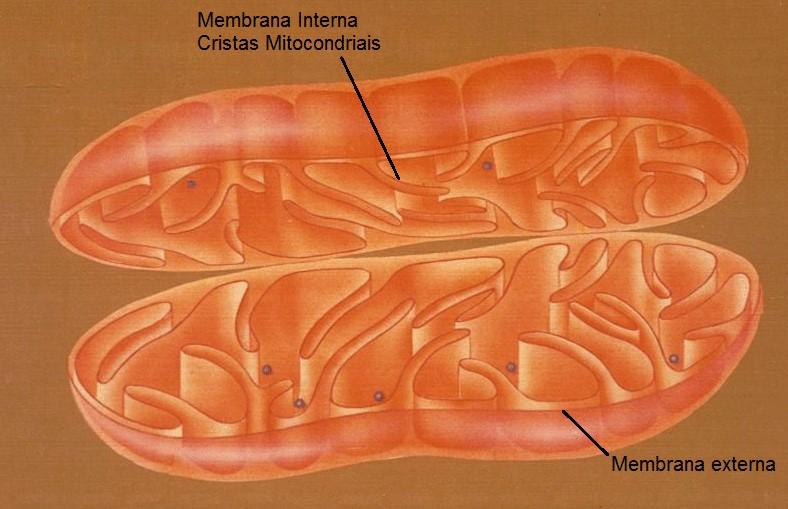 esquema da mitocondria organelas celulares