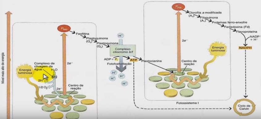 fase clara fotossíntese