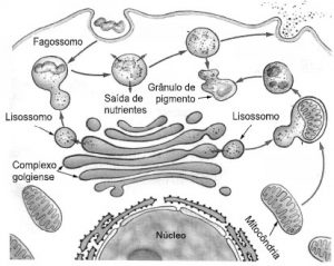Endocitose e exocitose, fagocitose.