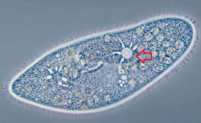 vacuolo pulsatil biologia enem