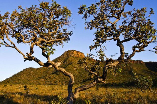 cerrado da vegetação brasileira
