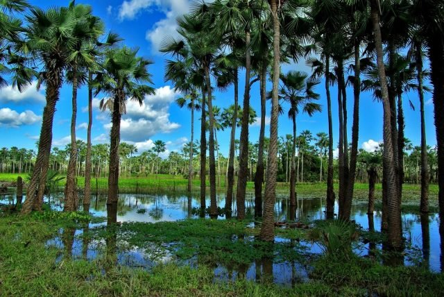 mata dos cocais vegetação brasileira