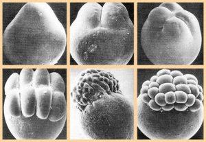 sequência de clivagens meroblástica desigual