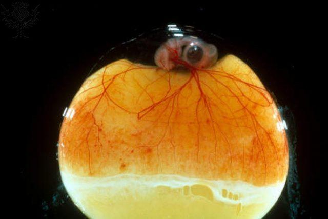 saco vitelinico anexos embrionários