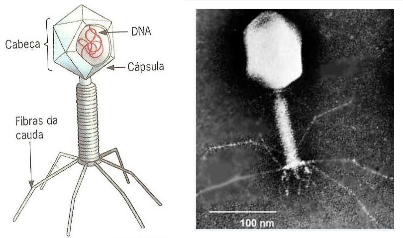 vírus bacteríofago