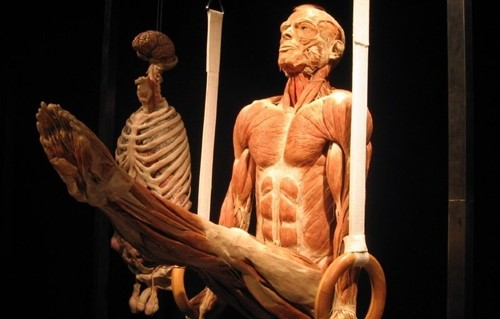 tecido muscular humano