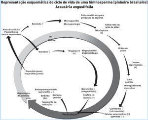 ciclo de vida gimnospermas