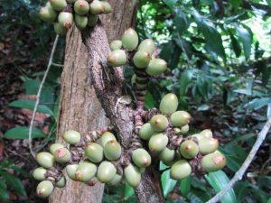 gimnospermas na amazonia