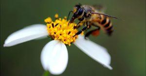 polinização das angiospermas pelas abelhas