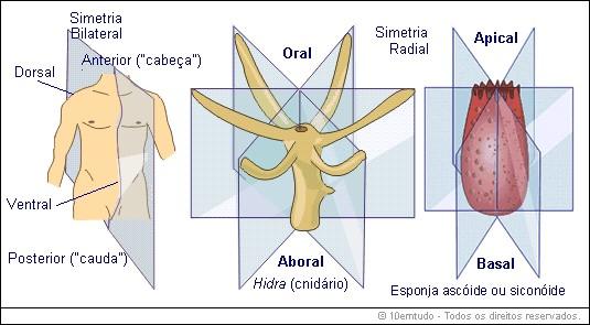 esquema simetrias bilateral e radial