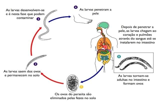 esquema ciclo da ancilostomose