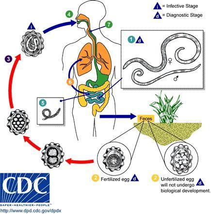 esquema ciclo da ascaridíase