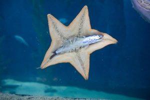estrela do mar(equinodermos) capturando peixe