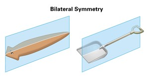 simetria bilateral dos platelmintos