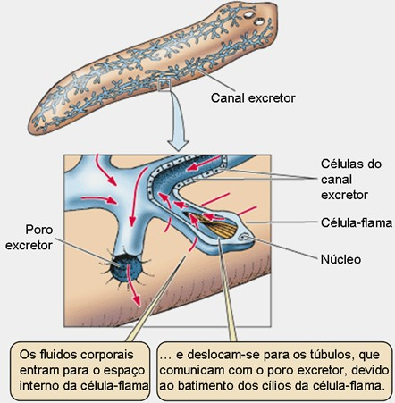 sistema excretor dos platelmintos