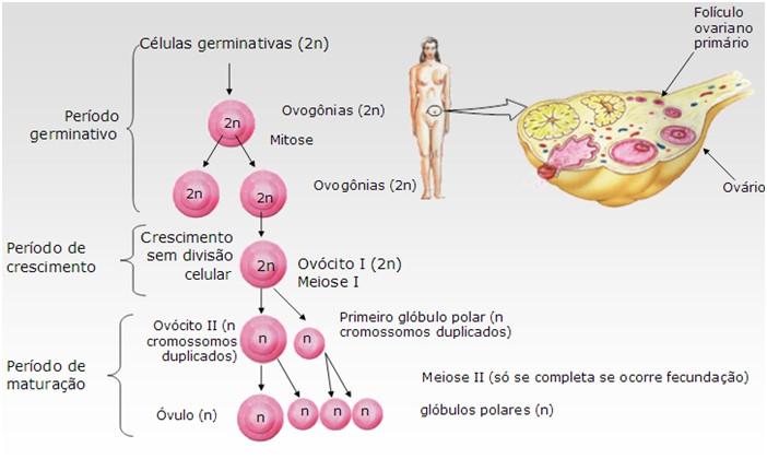 aula de gametogenese - fases da ovulacao