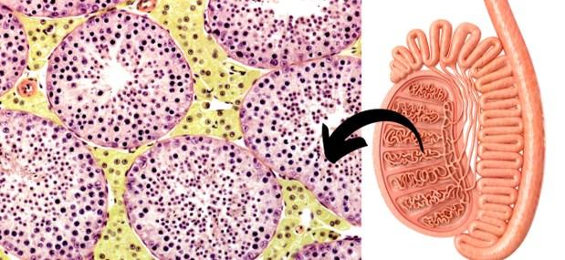 gametogênese e espermatogênese