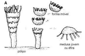 estrobilização em cnidarios
